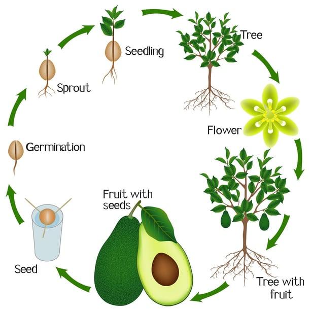 Il ciclo dell'Avocado